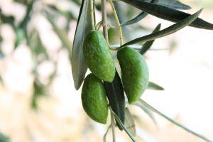 1223594_green_olives